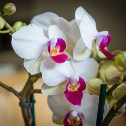 OrchidClose1_600x600