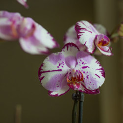 OrchidClose3_600x600
