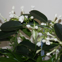 Stephanotis bloom 1
