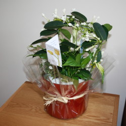Stephanotis gift wrapped full 1