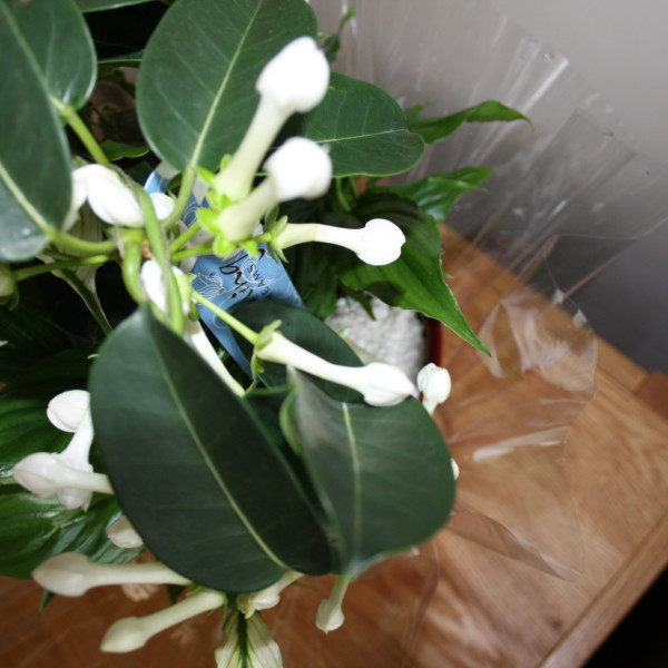 stephanotis top view 1