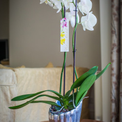 Arrangement 6 white orchid, silver tall pot
