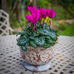 cyclamen ceramic pot 1