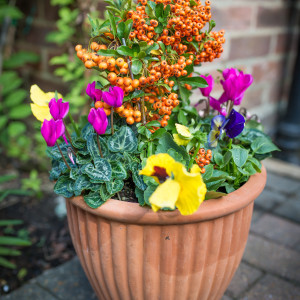 outdoor arrangement pansies, cyclamen