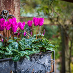 outdoor cyclamen closeup